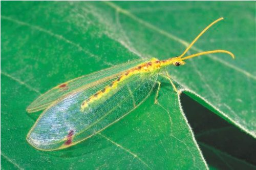 Facts about Lacewings