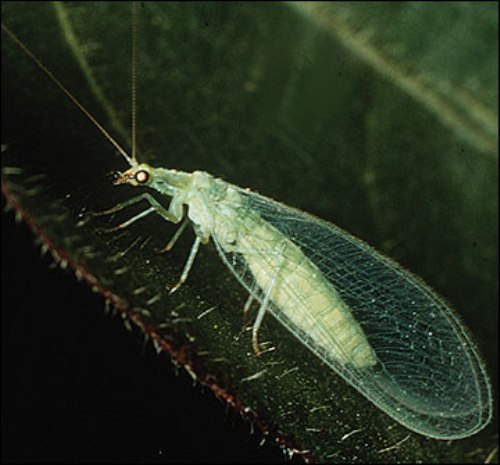 lacewings facts