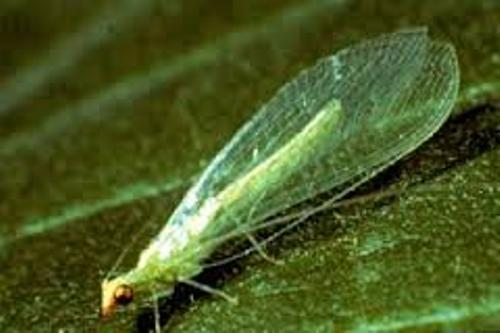 10 Cool Facts about Lacewings | Top 10 Facts